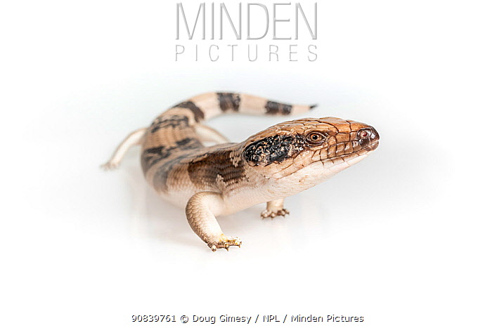 Western blue-tongued skink (Tiliqua occipitalis) on white background. Captive, rescued from illegal wildlife trade by The Department of Environment Land, Water and Planning during Operation Sheffield. Knoxfield, Melbourne, Victoria, Australia. 2018. Digitally altered image.