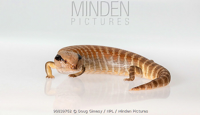 Centralian blue-tongued skink (Tiliqua multifasciata) on white background. Captive, rescued from illegal wildlife trade by The Department of Environment Land, Water and Planning during Operation Sheffield. Knoxfield, Melbourne, Victoria, Australia. 2018. Digitally altered image.
