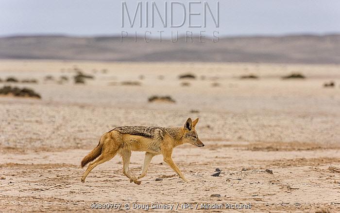 Black-backed jackal (Canis mesomelas) walking in Namib Desert. Skeleton Coast, Namibia.