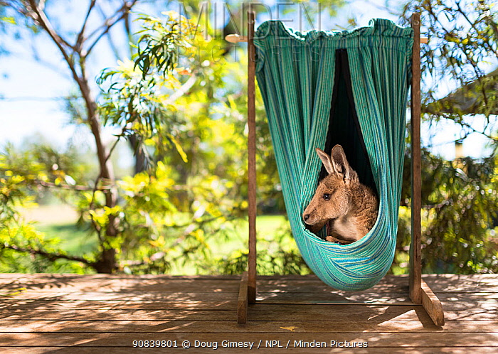 Eastern grey kangaroo (Macropus giganteus), rescued joey in home-made artificial pouch hanging on carer's veranda. Linthorp, Toowoomba, Queensland, Australia. April.
