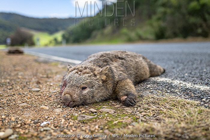 Common wombat, (Vombatus ursinus) dead at roadside, killed by vehicle strike. Dartmouth, Victoria, Australia. May 2018.