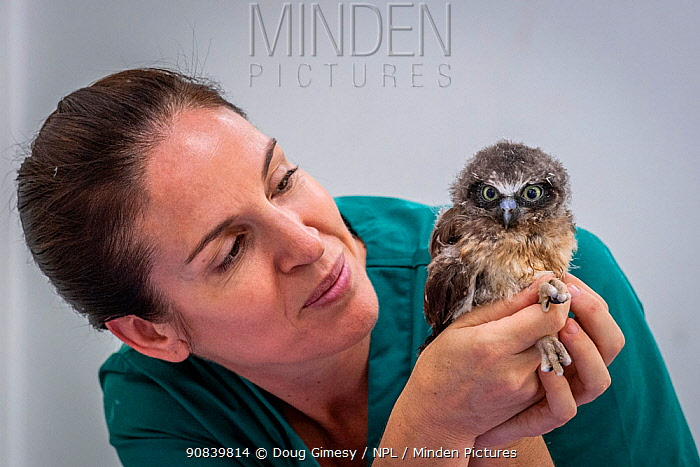 Boobok owl (Ninox boobook) chick held by veterinary nurse. Chick treated for head trauma, likely caused by bird attack. Temporarily captive, to be released following recovery. Currumbin Wildlife Hospital, Gold Coast, Queensland, Australia. November 2019. Model released. Editorial use only.