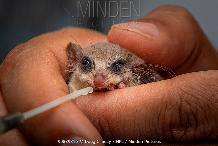 Feather-tailed glider (Acrobates pygmaeus) given glucose, found under stairs by member of public. Currumbin Wildlife Hospital, Gold Coast, Queensland, Australia. November 2019. Editorial use only.