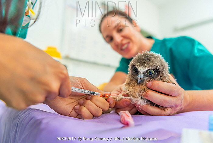 Boobok owl (Ninox boobook) chick held by veterinary nurse while blood is taken for analysis. Chick treated for head trauma, likely caused by bird attack. Currumbin Wildlife Hospital, Gold Coast, Queensland, Australia. November 2019. Model released. Editorial use only.