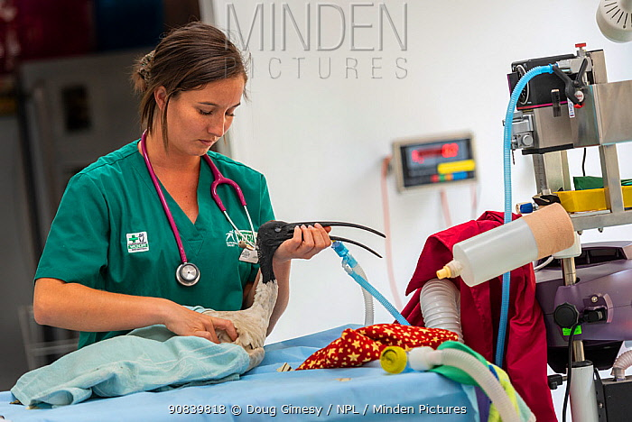 Australian white ibis (Threskiornis molucca) recovering from surgery to remove fishing hook in stomach, held by veterinary nurse. Captive, to be released on recovery. Currumbin Wildlife Hospital, Gold Coast, Queensland, Australia. November 2019. Model released. Editorial use only.