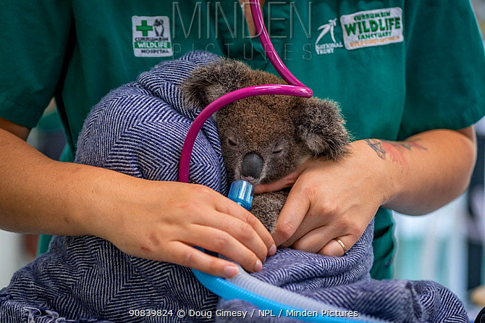 Koala (Phascolarctos cinereus) female aged 12 months undergoing health check, veterinary nurse adminstering oxygen following anaesthetic. Joey's mother died from a terminal chlamydia infection. Temporarily captive, until old enough to be released. Currumbin Wildlife Hospital, Gold Coast, Queensland, Australia. November 2019. Model released. Editorial use only.