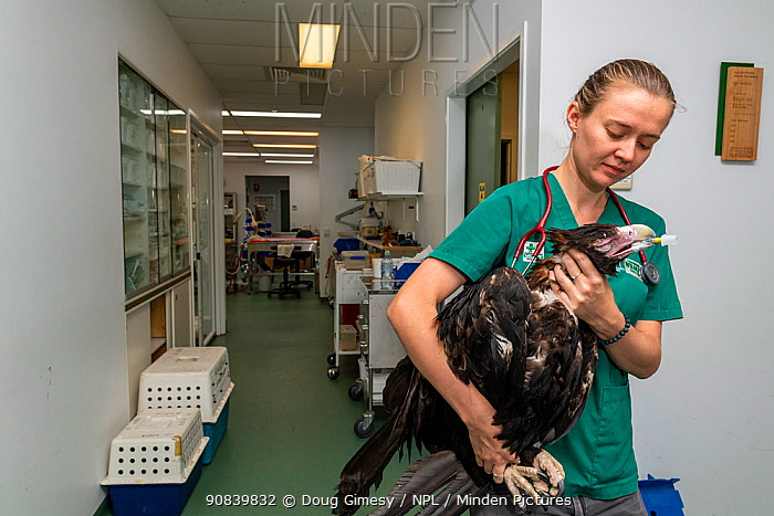 Wedge-tailed eagle (Aquila audax) with wing fracture on way to recovery room following x-ray, carried by veterinary nurse. Temporarily captive, to be released once fully recovered. Currumbin Wildlife Hospital, Gold Coast, Queensland, Australia. November 2019. Model released. Editorial use only.