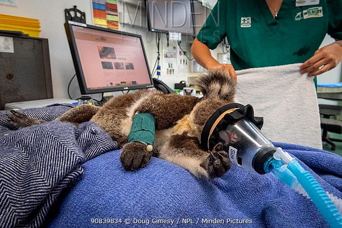 Koala (Phascolarctos cinereus) female aged 12 months, anaesthetised whilst undergoing health check by veterinary nurse. Temporarily captive, until old enough to be released. Currumbin Wildlife Hospital, Gold Coast, Queensland, Australia. November 2019. Model released. Editorial use only.