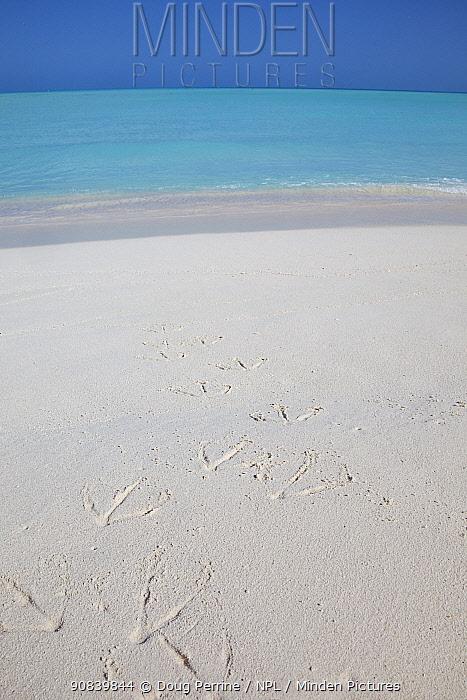 Albatross (Phoebastria sp) footprints on beach. Sand Island, Midway Atoll National Wildlife Refuge, Papahanaumokuakea Marine National Monument, Northwest Hawaiian Islands, USA.