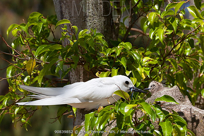 White tern (Gygis alba candida) with fish to feed chick. Sand Island, Midway Atoll National Wildlife Refuge, Papahanaumokuakea Marine National Monument, Northwest Hawaiian Islands, USA.