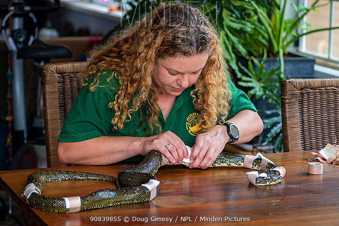 Wildlife rescuer and carer changing dressing on Diamond python (Morelia spilota) with multiple bite wounds. Bites believed to be the result of a rabbit protecting her kits after the python went down a burrow. Temporarily captive, to be released once skin has healed. Woy Woy Bay, New South Wales, Australia. December 2020. Model released. Editorial use only.