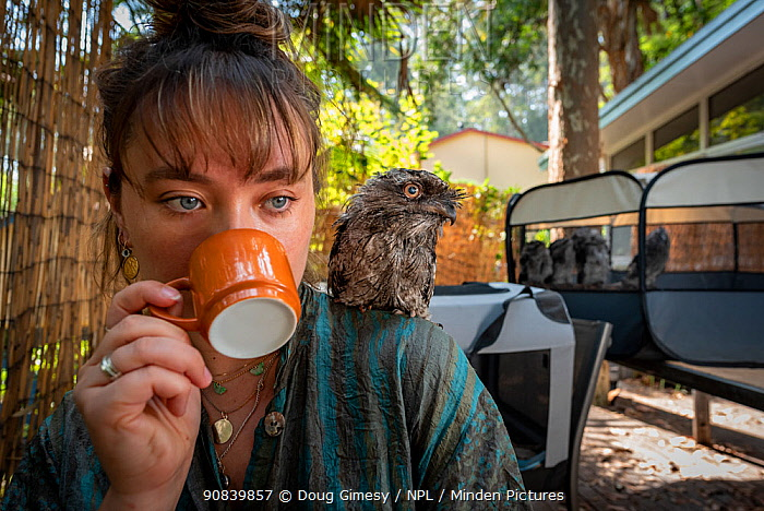 Wildlife rescuer and carer drinking cup of coffee with rescued Tawny frogmouth (Podargus strigoides) chick sitting on her shoulder, others in cage in background. Pearl Beach, New South Wales, Australia. December 2020. Model released. Editorial use only.