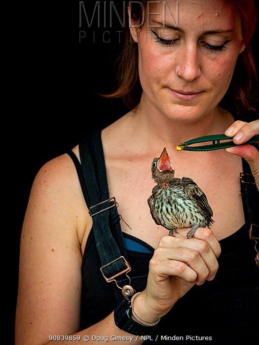 Wildlife rescuer and carer feeding Australasian figbird (Sphecotheres vieilloti) chick using tweezers. Chick fell from nest and was taken to a vet by a member of the public. Woy Woy Bay, New South Wales, Australia. December 2020. Model released. Editorial use only.
