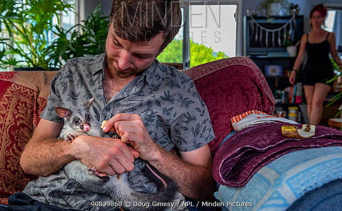 Wildlife rescuer and carer holding orphaned Brushtail possum (Trichosurus vulpecula) joey whilst sitting on sofa in his living room. Woy Woy Bay, New South Wales, Australia. December 2020. Model released. Editorial use only.