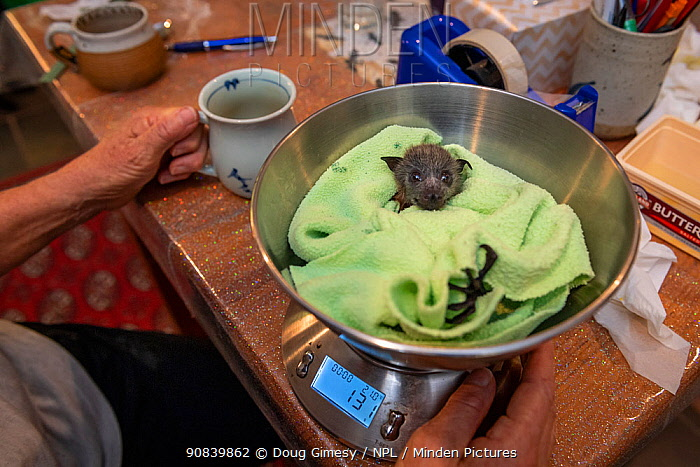 Grey-headed flying-fox (Pteropus poliocephalus), rescued bat on scales in order to monitor weight. Matcham, New South Wales, Australia. December 2020. Model released.