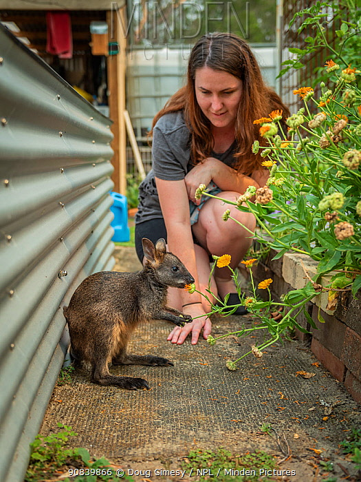 Wildlife carer watching rescued Swamp wallaby (Wallabia bicolor) feeding on flowers. Somersby, New South Wales, Australia. December 2020. Model released. Editorial use only.