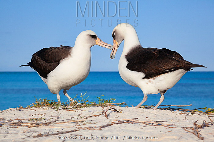 Laysan albatross (Phoebastria immutabilis) pair in courtship. Sand Island, Midway Atoll National Wildlife Refuge, Papahanaumokuakea Marine National Monument, Northwest Hawaiian Islands, USA.