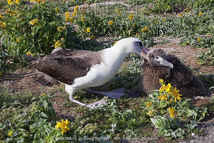 Laysan albatross (Phoebastria immutabilis) attacking unrelated chick to keep it away from its own nesting area. Sand Island, Midway Atoll National Wildlife Refuge, Papahanaumokuakea Marine National Monument, Northwest Hawaiian Islands, USA.