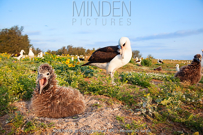Laysan albatross (Phoebastria immutabilis), hungry chick calling on nest in breeding colony. Sand Island, Midway Atoll National Wildlife Refuge, Papahanaumokuakea Marine National Monument, Northwest Hawaiian Islands, USA.