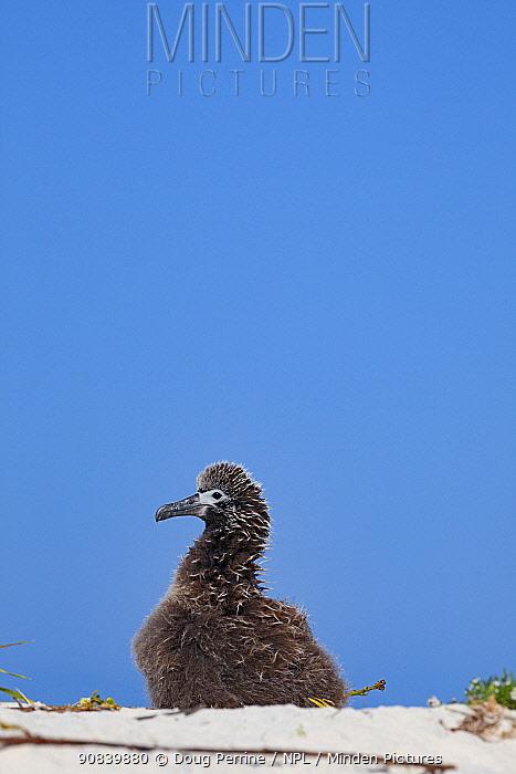 Laysan albatross (Phoebastria immutabilis) chick. Sand Island, Midway Atoll National Wildlife Refuge, Papahanaumokuakea Marine National Monument, Northwest Hawaiian Islands, USA.