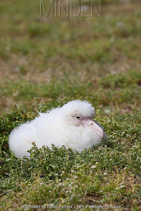 Laysan albatross (Phoebastria immutabilis), leucistic chick. Sand Island, Midway Atoll National Wildlife Refuge, Papahanaumokuakea Marine National Monument, Northwest Hawaiian Islands, USA.