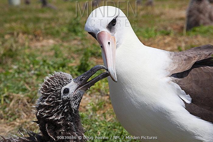 Laysan albatross (Phoebastria immutabilis) chick begging adult for food. Sand Island, Midway Atoll National Wildlife Refuge, Papahanaumokuakea Marine National Monument, Northwest Hawaiian Islands, USA.