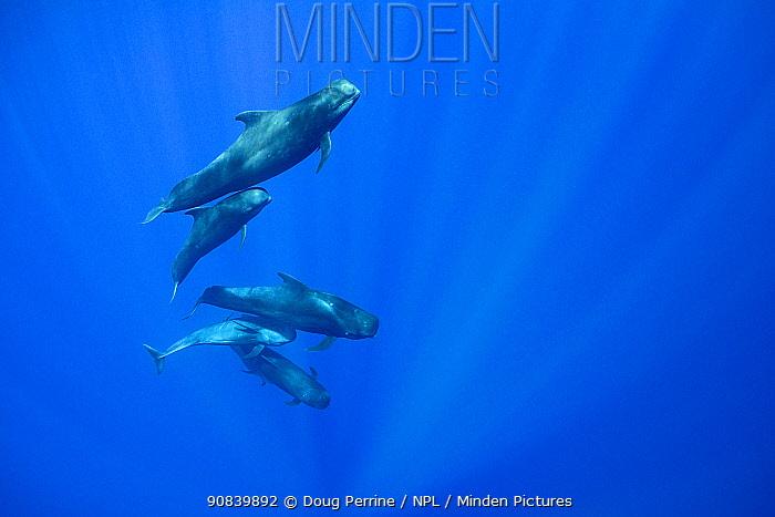 Short-finned pilot whale (Globicephala macrorhynchus) pod with adult and juveniles. Pacific Ocean, Kona, Hawaii, USA.