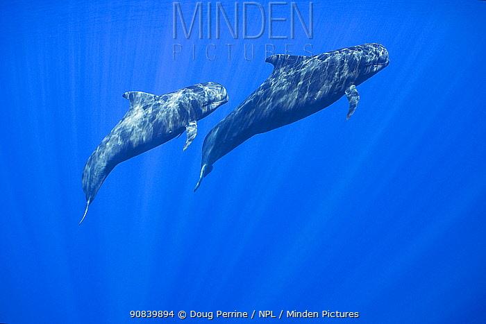 Short-finned pilot whale (Globicephala macrorhynchus) adult and juvenile in dappled light. Pacific Ocean, Kona, Hawaii, USA.