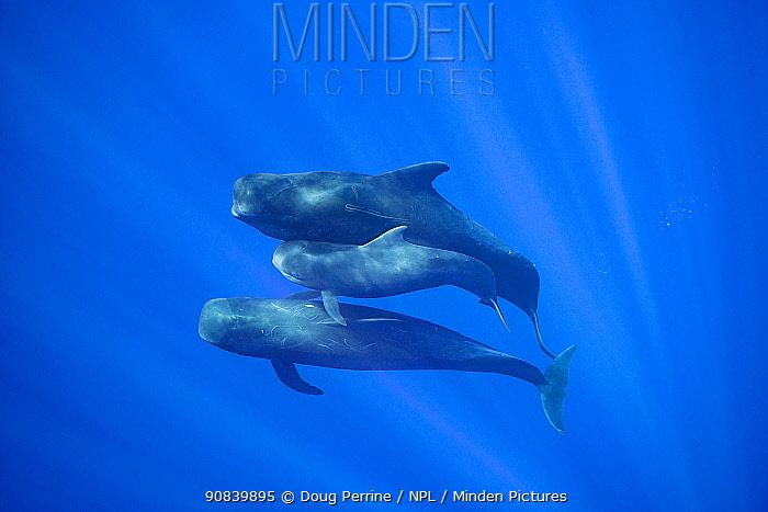 Short-finned pilot whale (Globicephala macrorhynchus) juvenile between two adults. Pacific Ocean, Kona, Hawaii, USA.