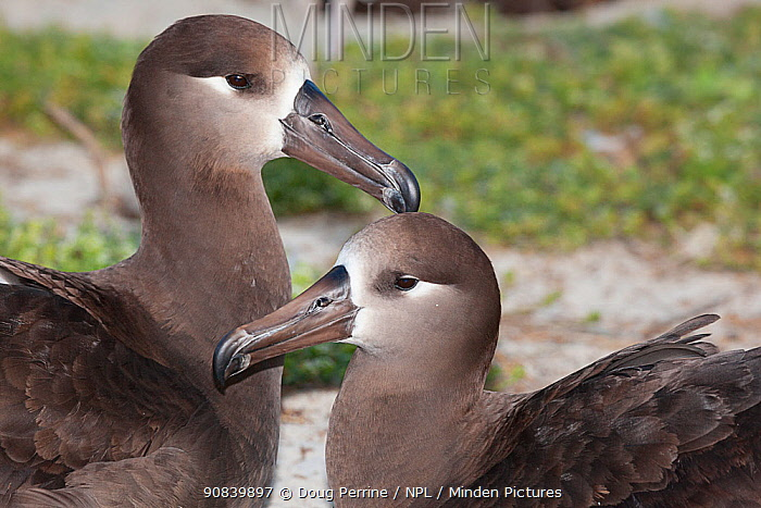 Black-footed albatross (Phoebastria nigripes) pair in courtship, portrait. Sand Island, Midway Atoll National Wildlife Refuge, Papahanaumokuakea Marine National Monument, Northwest Hawaiian Islands, USA.