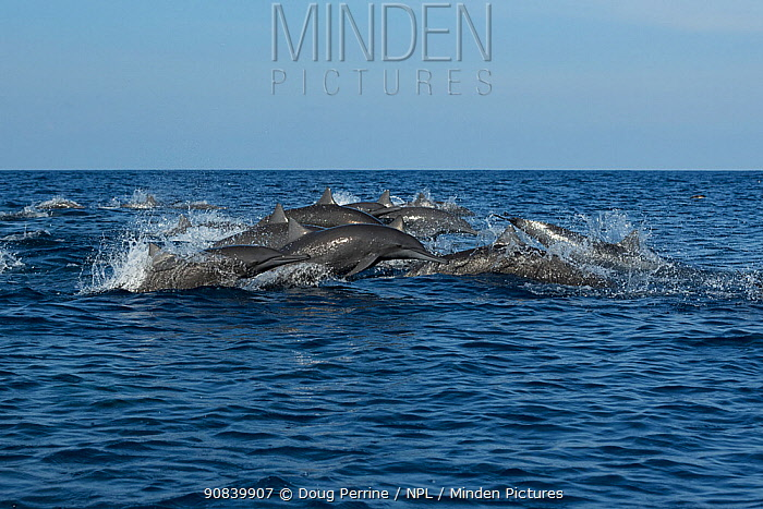 Spinner dolphin (Stenella longirostris) pod stampeding away from Toothed whale pod. Pacific Ocean, Southern Costa Rica.
