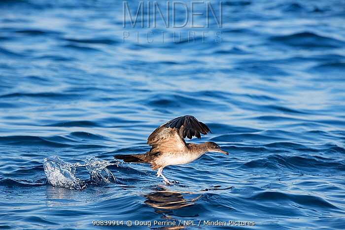 Pink-footed shearwater (Ardenna creatopus) taking off from water surface. Pacific, Ocean, Southern Costa Rica.