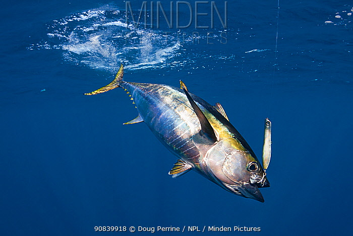 Yellowfin tuna (Thunnus albacares) hooked on lure with treble hook. Pacific Ocean, Cabo San Lucas, Baja California, Mexico. 2009.