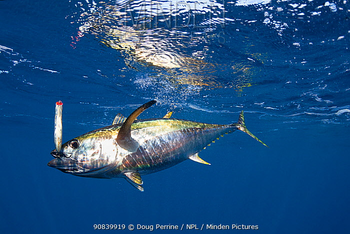 Yellowfin tuna (Thunnus albacares) hooked on lure with treble hook. Pacific Ocean, Cabo San Lucas, Baja California, Mexico. 2009.