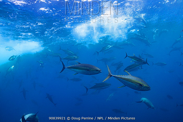 Yellowfin tuna (Thunnus albacares) and Pantropical spotted dolphin (Stenella attenuata) pod feeding on bait fish beneath water surface. Pacific Ocean, Southern Costa Rica.