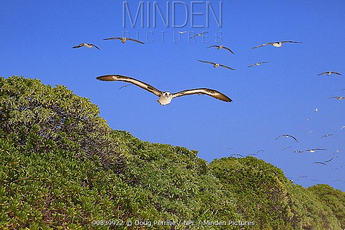 Laysan albatross (Phoebastria immutabilis) group from breeding colony in flight over trees. Sand Island, Midway Atoll National Wildlife Refuge, Papahanaumokuakea Marine National Monument, Northwest Hawaiian Islands, USA.