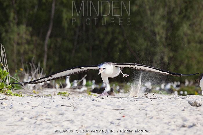 Laysan albatross (Phoebastria immutabilis) taking off, running across beach. Sand Island, Midway Atoll National Wildlife Refuge, Papahanaumokuakea Marine National Monument, Northwest Hawaiian Islands, USA.