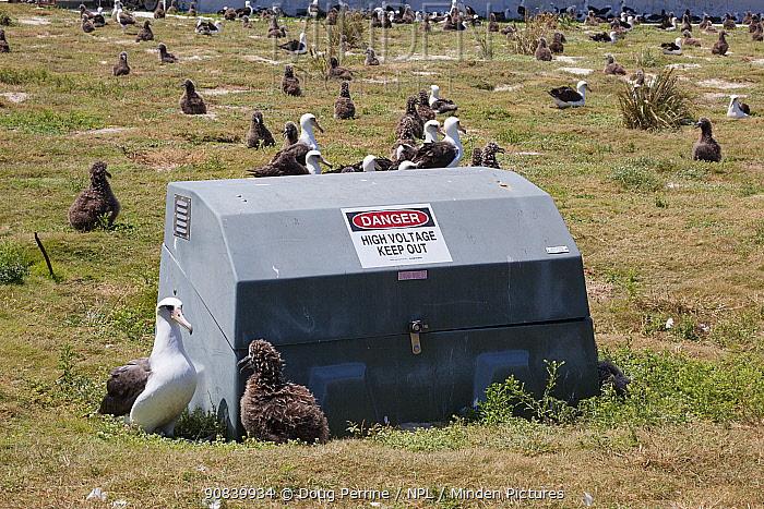 Laysan albatross (Phoebastria immutabilis) breeding colony, adult rearing chick next to electrical equipment box. Sand Island, Midway Atoll National Wildlife Refuge, Papahanaumokuakea Marine National Monument, Northwest Hawaiian Islands, USA. 2010.