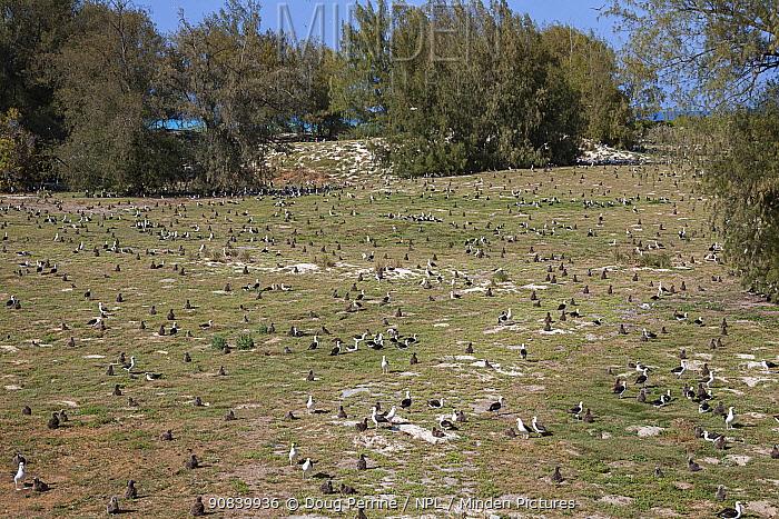 Laysan albatross (Phoebastria immutabilis) breeding colony with many chicks, in grassland bordered by Casuarina trees. Sand Island, Midway Atoll National Wildlife Refuge, Papahanaumokuakea Marine National Monument, Northwest Hawaiian Islands, USA. 2010.