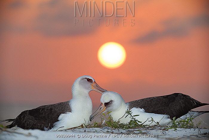 Laysan albatross (Phoebastria immutabilis) pair allopreening in courtship, at sunset. Sand Island, Midway Atoll National Wildlife Refuge, Papahanaumokuakea Marine National Monument, Northwest Hawaiian Islands, USA.