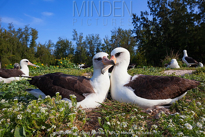 Laysan albatross (Phoebastria immutabilis) pair in courtship with beaks crossed. Sand Island, Midway Atoll National Wildlife Refuge, Papahanaumokuakea Marine National Monument, Northwest Hawaiian Islands, USA.
