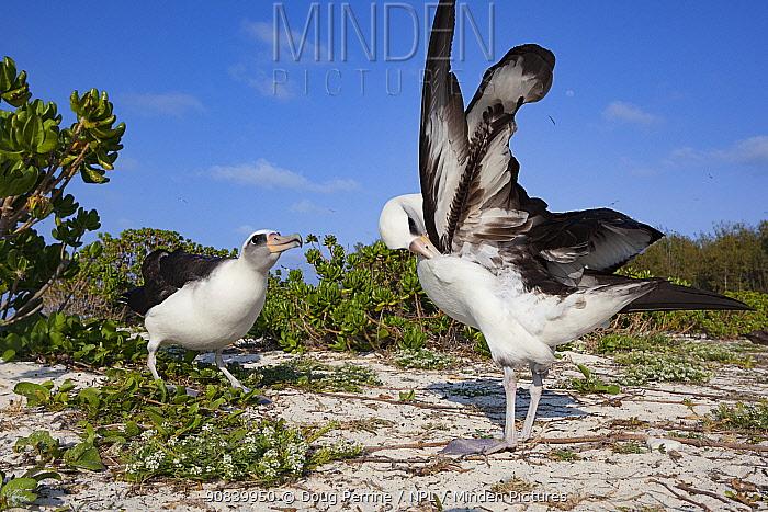Laysan albatross (Phoebastria immutabilis) pair in courtship, one preening, the other bill pointing. Sand Island, Midway Atoll National Wildlife Refuge, Papahanaumokuakea Marine National Monument, Northwest Hawaiian Islands, USA.