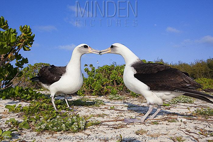 Laysan albatross (Phoebastria immutabilis) pair billing during courtship. Sand Island, Midway Atoll National Wildlife Refuge, Papahanaumokuakea Marine National Monument, Northwest Hawaiian Islands, USA.