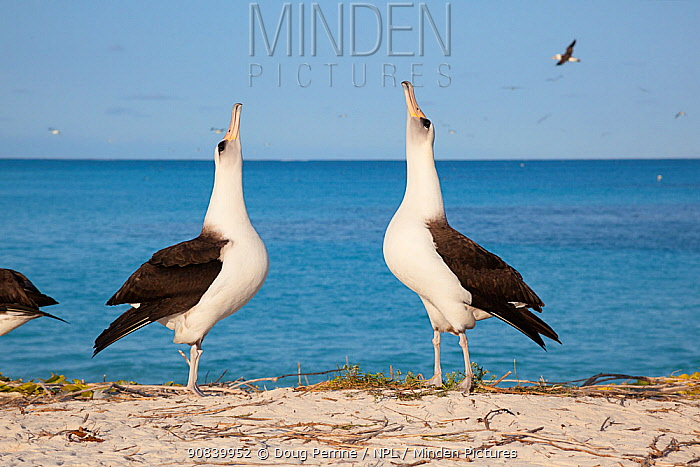 Laysan albatross (Phoebastria immutabilis) pair sky pointing in courtship dance. Sand Island, Midway Atoll National Wildlife Refuge, Papahanaumokuakea Marine National Monument, Northwest Hawaiian Islands, USA.