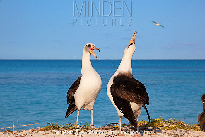 Laysan albatross (Phoebastria immutabilis) pair in courtship dance, one sky pointing. Sand Island, Midway Atoll National Wildlife Refuge, Papahanaumokuakea Marine National Monument, Northwest Hawaiian Islands, USA.