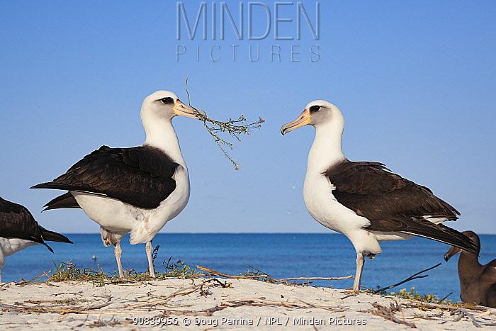 Laysan albatross (Phoebastria immutabilis) pair, male presenting nesting material during courtship. Sand Island, Midway Atoll National Wildlife Refuge, Papahanaumokuakea Marine National Monument, Northwest Hawaiian Islands, USA.