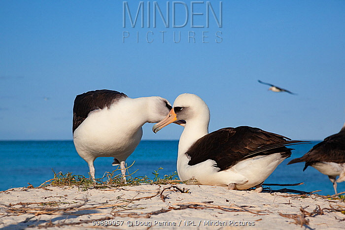 Laysan albatross (Phoebastria immutabilis) pair allopreening during courtship. Sand Island, Midway Atoll National Wildlife Refuge, Papahanaumokuakea Marine National Monument, Northwest Hawaiian Islands, USA.