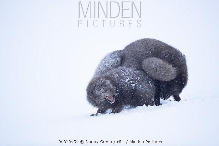 Arctic fox (Vulpes lagopus) pair starting bond in courtship ritual. Hornstrandir Nature Reserve, Iceland, February.