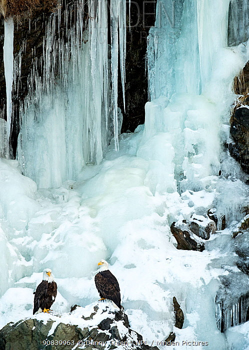 Bald eagle (Haliaeetus leucocephalus), two perched on rocks in front of frozen waterfall. Alaska, USA, February.