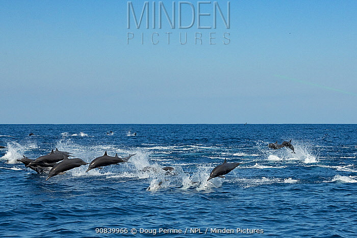 Spinner dolphin (Stenella longirostris) pod stampede, porpoising away from Toothed whale pod. Pacific Ocean, Southern Costa Rica.